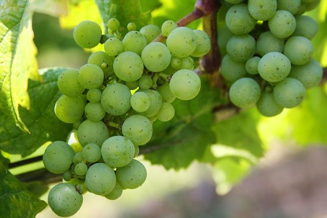 виноград, зеленый виноград, природы