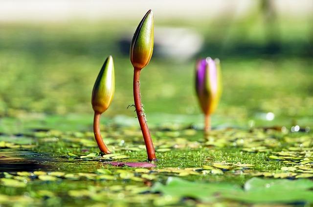 водяные лилии, почка, пруд