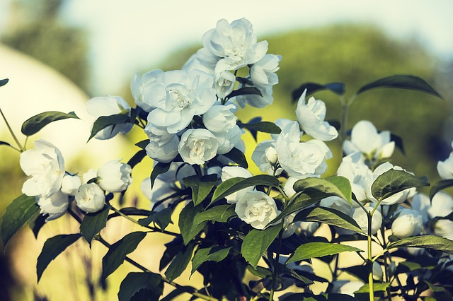 жасмин, белый, летние цветы