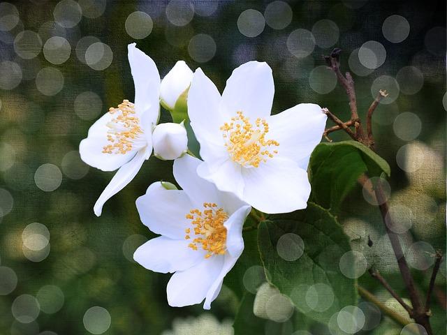 жасмин, чубушник, цветы