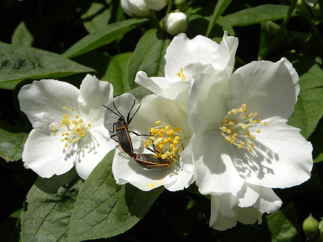 жасмин цветок, насекомые спаривания, ошибки