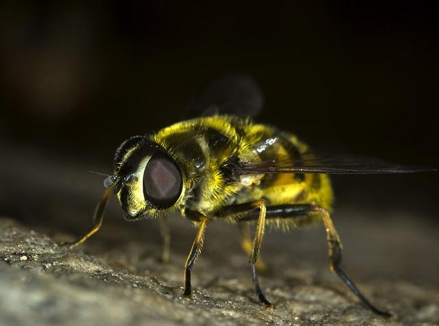 журчалки, муха, насекомое