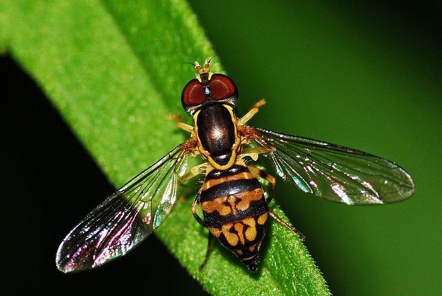журчалки, насекомое, syrphid