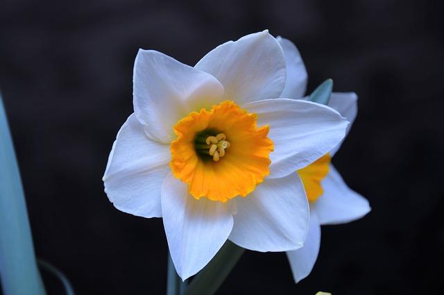 жёлтый нарцисс, цвет, весенние цветы