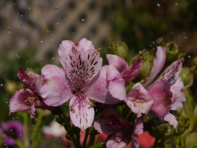 альстромерии, воды, цветущий