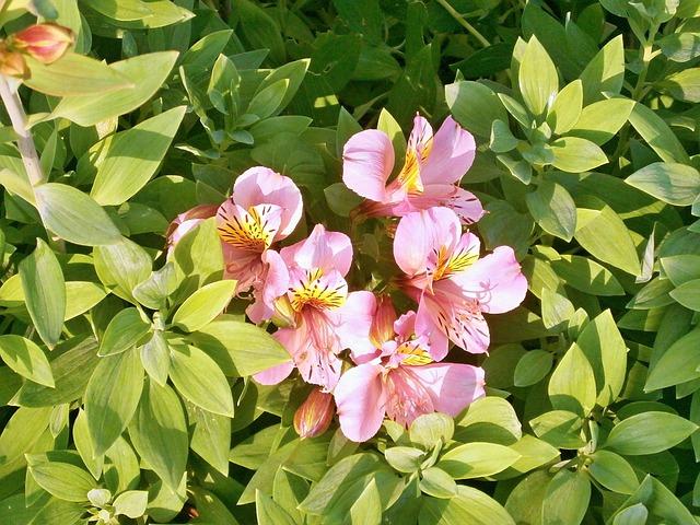 альстромерия, розовый цветок, летние цветы