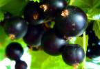 Подкормки черной смородины