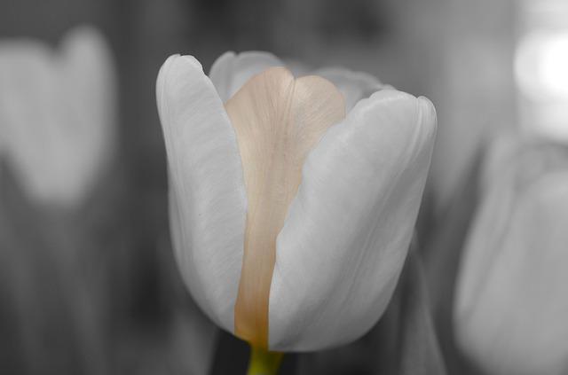цветок, белый, тюльпан