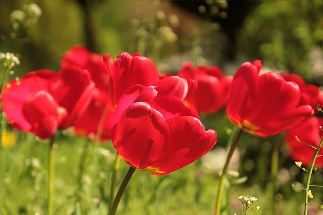 цветок, тюльпаны, красный