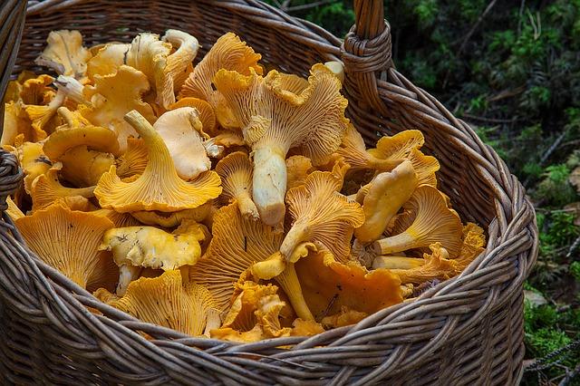 губка корзина, лесные грибы лисички, сбор грибов