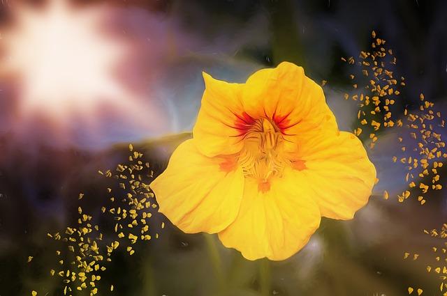 картина, цветок, настурция