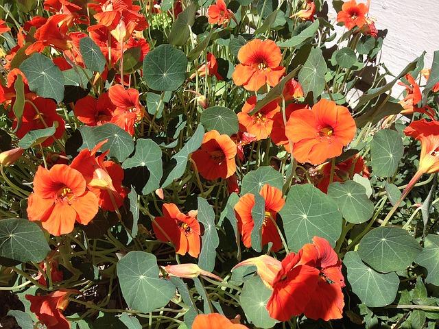 настурции, оранжевый, летом