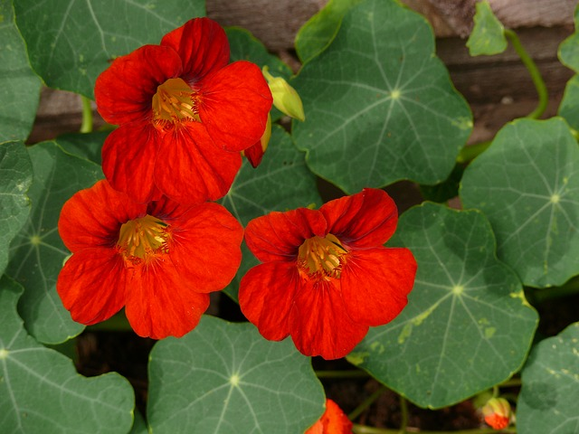 настурция, красный, цветы
