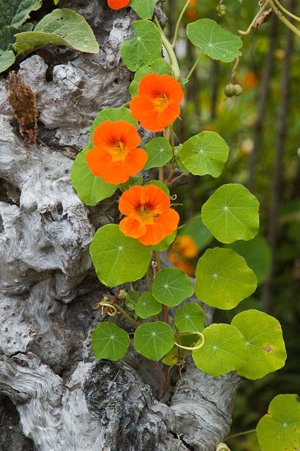 настурция, оранжевый, цветок