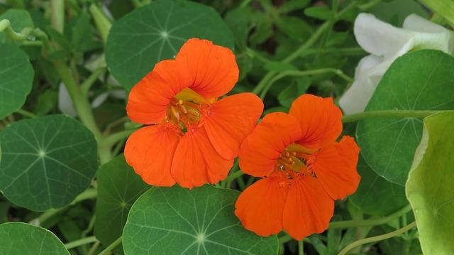 настурция, оранжевый, tropaeolum