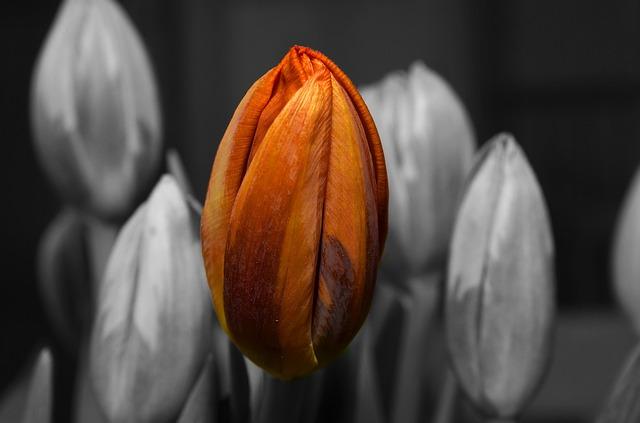 оранжевый, тюльпан, цветок