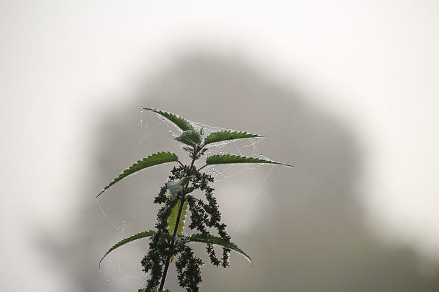 осенью, туман, крапива