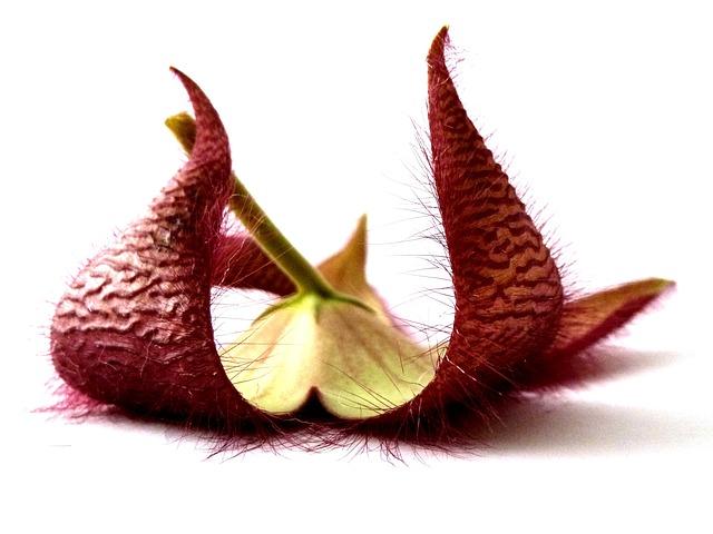 стапелия, растение, цветок