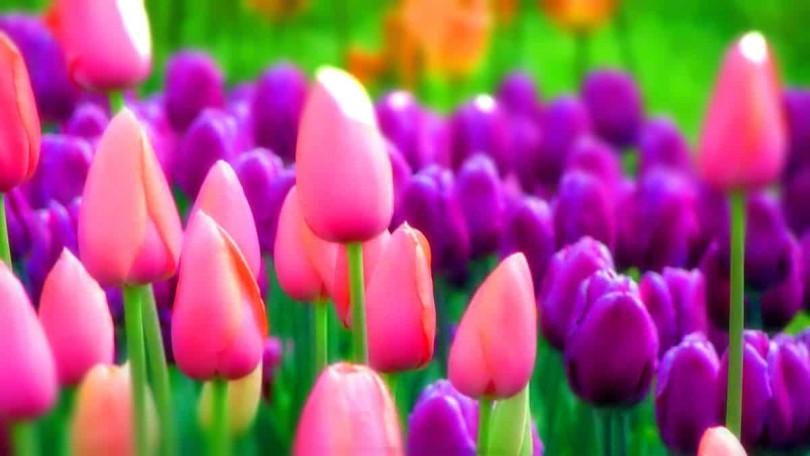 Грибковые заболевания тюльпанов