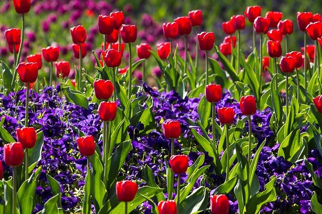 тюльпаны, весна, света