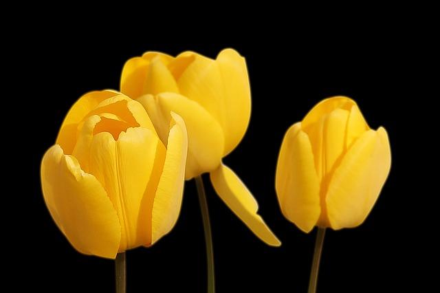 тюльпаны, жёлтый, цветы