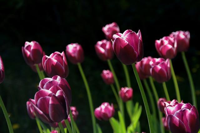 весна, цветок, тюльпаны