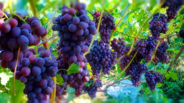 Обработка винограда от вредителей и болезней