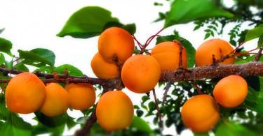 Можно ли вырастить абрикос из косточки
