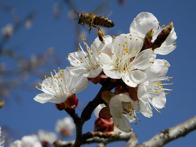 цветок, абрикос, пчела
