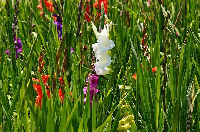 гладиолус, белый, лето