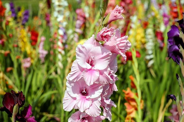 гладиолус, цветок, цвести