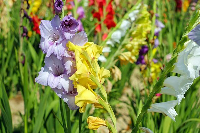гладиолус, цветы, цветение