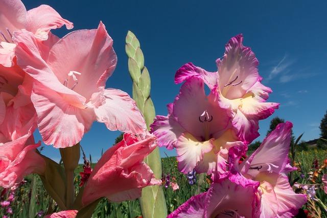 гладиолусы, гладиолус, меч цветок
