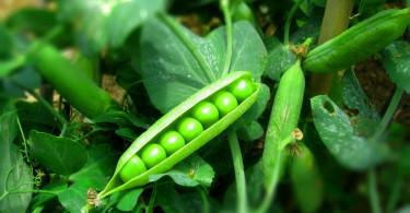 Зелёный горошек - правильное выращивание и заготовка на зиму.