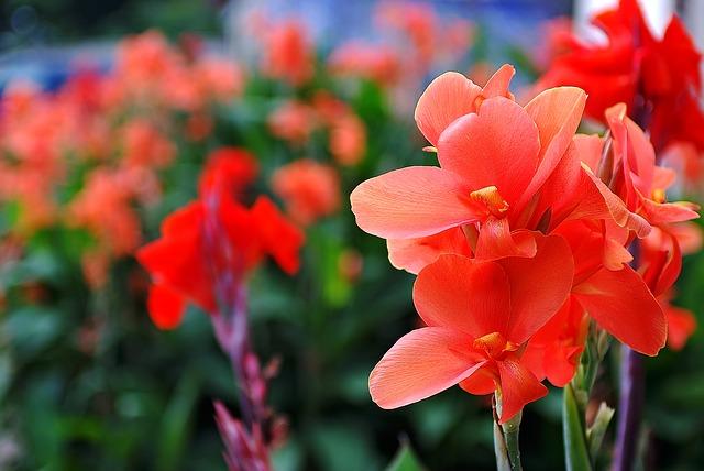 лето, цветы, гладиолусы