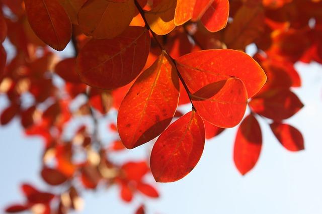 листья, осень, красный