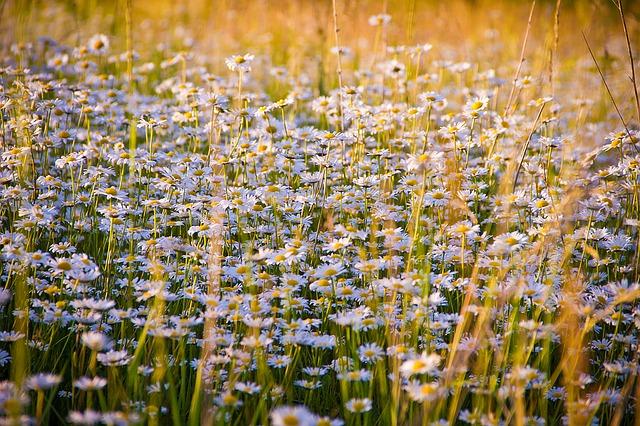 ромашки, цветы, белые цветы