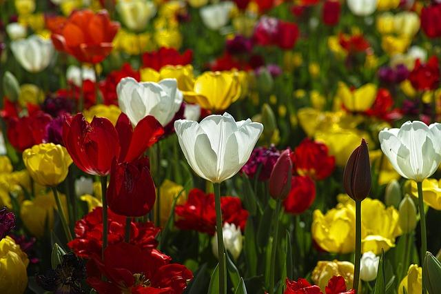 тюльпаны, цветы, завод