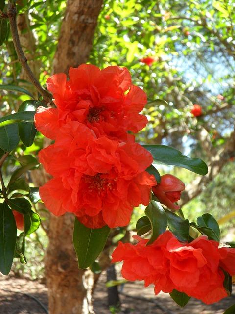 гранат, цветок граната, цвести