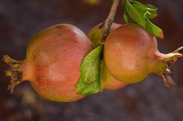 гранат, спелый, гранатовое дерево