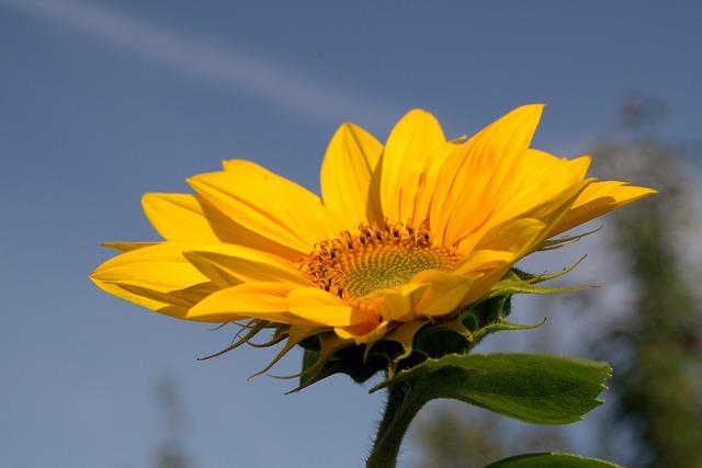 подсолнечник, жёлтый, сад