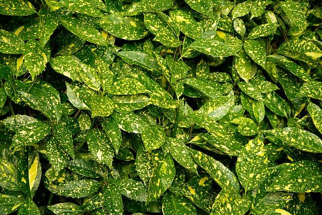 растения, aucuba, хеджирования