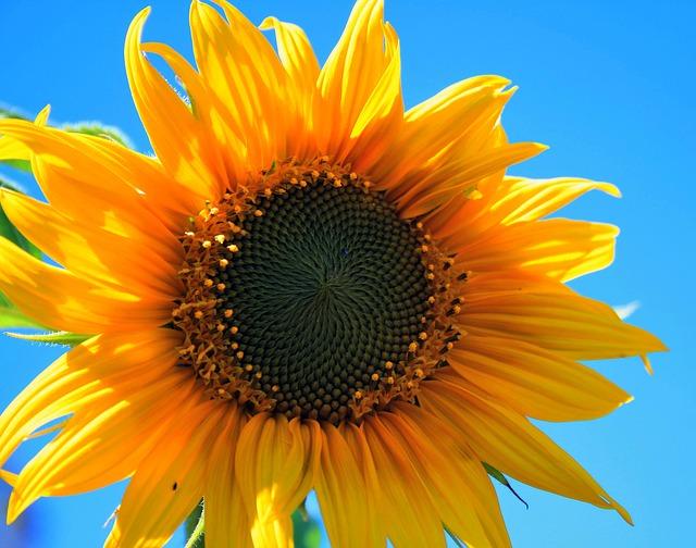 желтый подсолнух, цветок, раунд