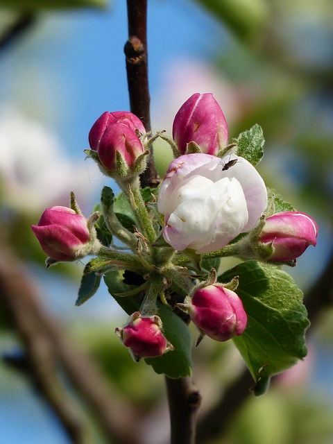 apple blossom, яблоня, цвести