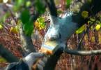 Морозобоины на яблоне. Можно ли спасти дерево?
