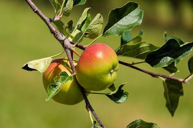 яблоко, фруктов, красный зеленый