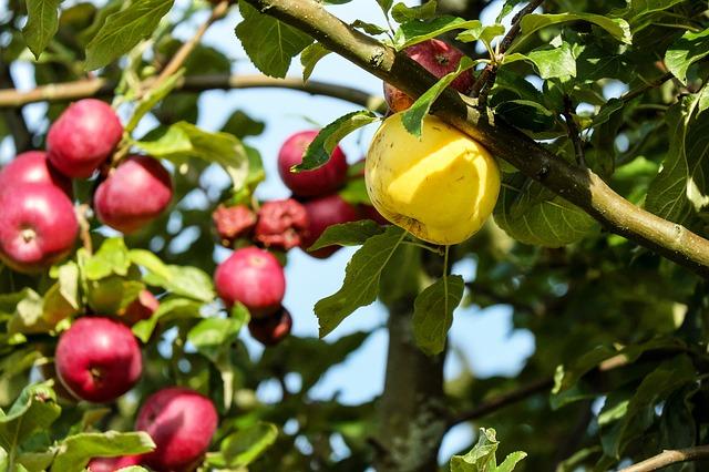 яблоко, фруктов, красный