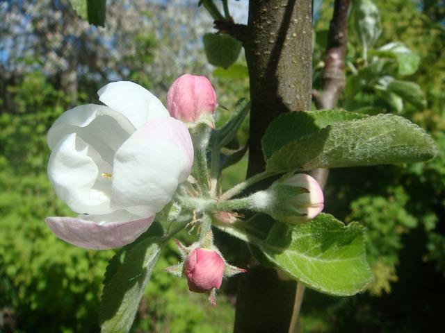 яблони, цветение, яблоневый цвет