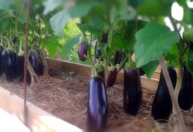 Как вырастить отличный урожай баклажанов