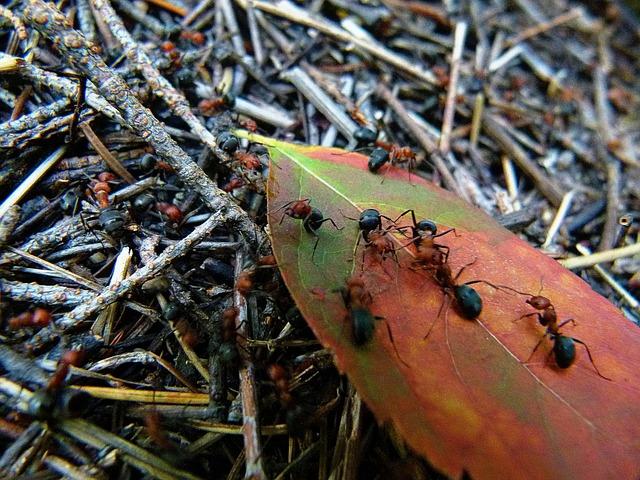 красный, черный, муравей